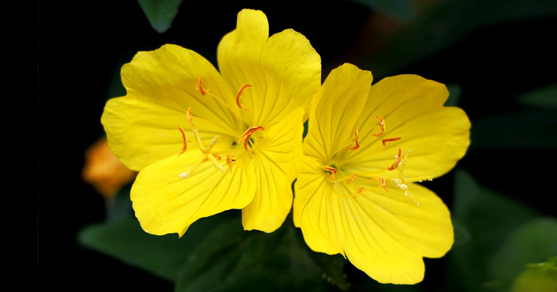 Evening Primrose Flower | Benefits of Evening Primrose Oil