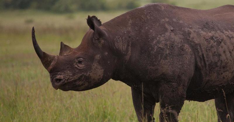 African Black Rhino   Black Rhino Wildlife Bond