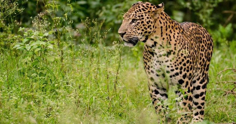 Leopard   Asola Wildlife Sanctuary To Conduct Census