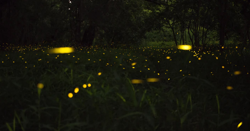 Fireflies Glowing At Night | How And Why Do Fireflies Glow At Night