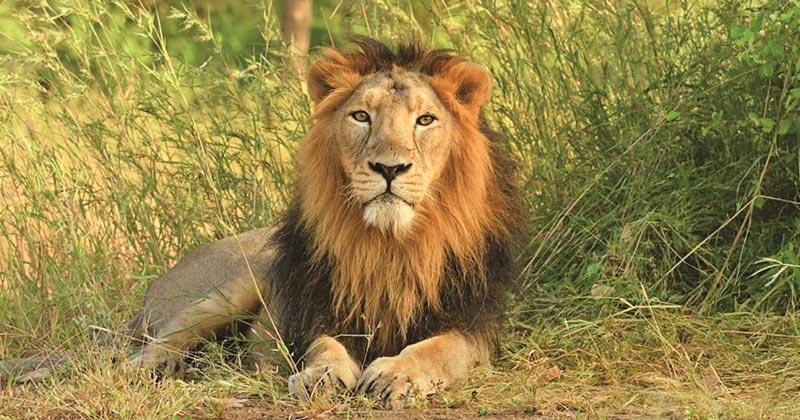 Gujarat Asiatic lions population