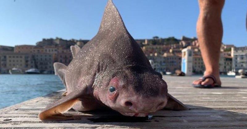 pig faced shark italy